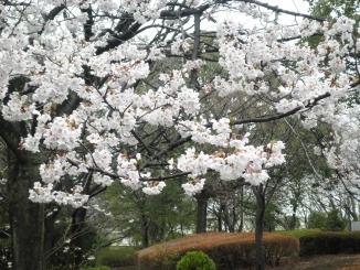 2013桜満開.jpg
